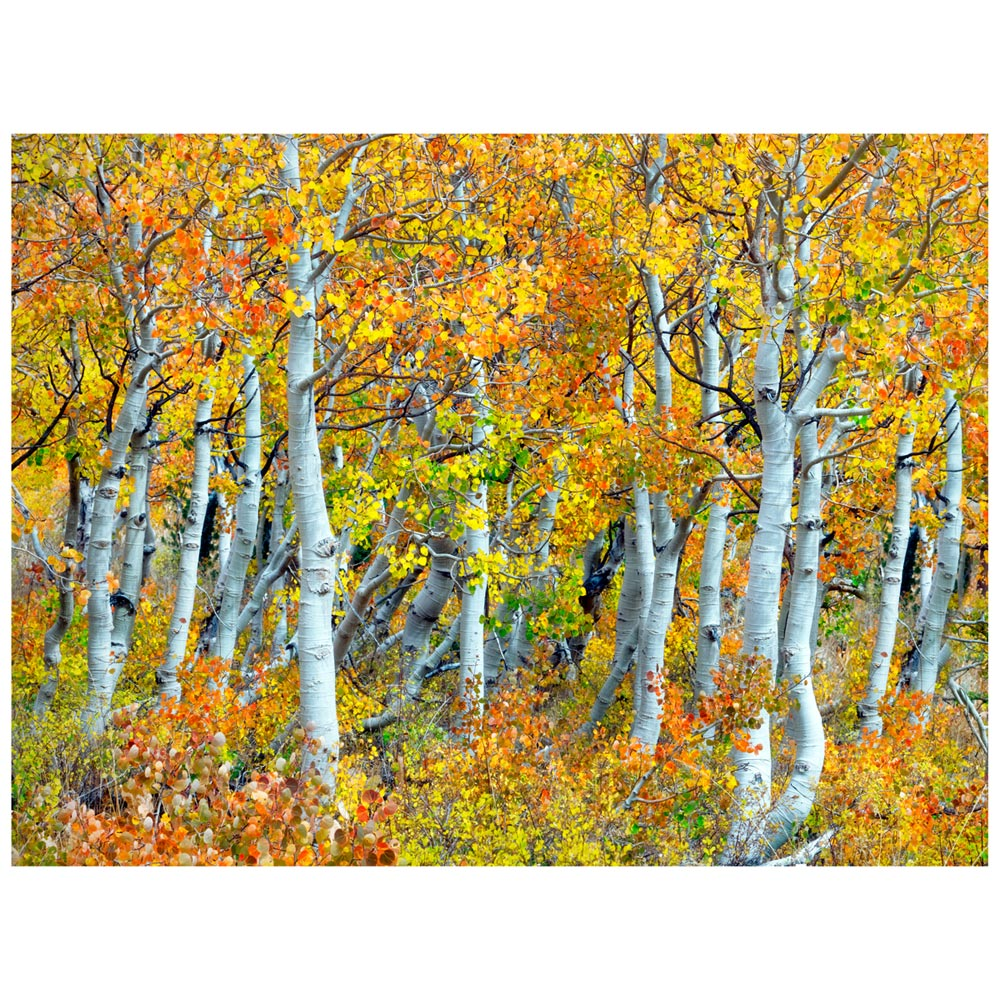 Black Forest Decor Trunks of aspen trees indoor/outdoor c...