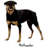 Rottweiler T-Shirt Perfectly Portrayed