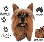 Silky Terrier T-Shirt History Collection