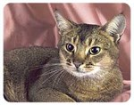 Abyssinian Cat Coasters