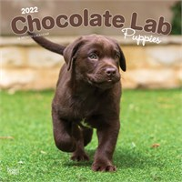 Chocolate Lab Puppies Calendar 2016