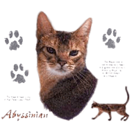Image of Abyssinian Cat T-Shirt - Facts