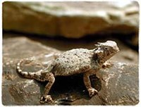 Horned Toad Shirts