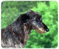Scottish Deerhound Mousepad