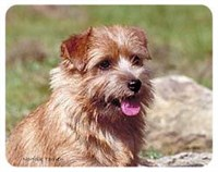 Norfolk Terrier Coasters
