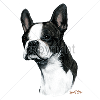 Boston Terrier T Shirt by Robert May