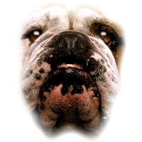 Bulldog T Shirt Full Face