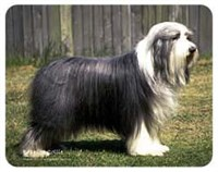 Bearded Collie Coasters