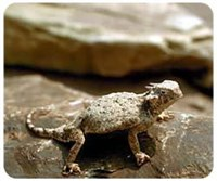 Horned Toad Mousepad