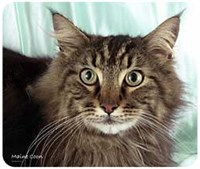 Maine Coon Cat Mousepad Best Price